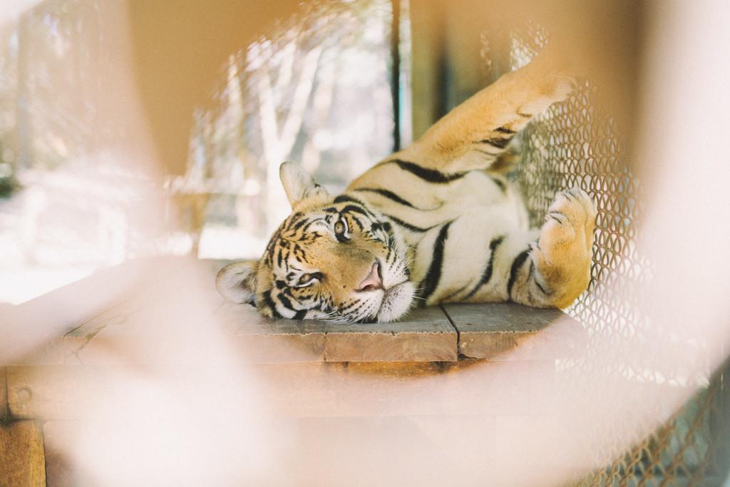 TigerKingdom_ChiangMai