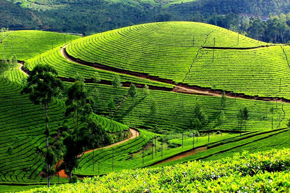 plantaže čaja